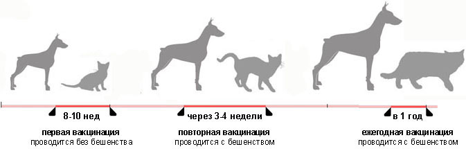 Сроки вакцинации животных